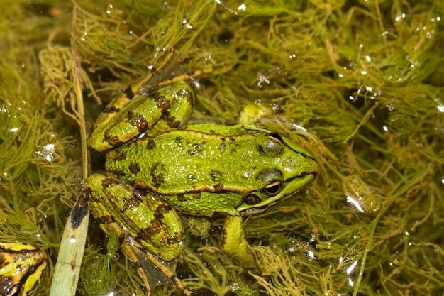 Nahaufnahme des essbaren frosches (pelophylax esculentus) auf einer pfütze.
