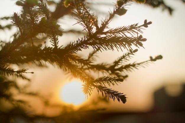 Nahaufnahme des fichtenbaumbrunchs mit großen dunkelgrünen nadeln auf unscharfem buntem hintergrund bei sonnenuntergang. schönheit der natur konzept.