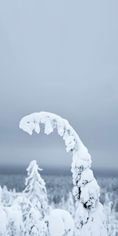 Nahaufnahme des fichtenzweigs, der durch schnee am riisitunturi-nationalpark, finnland bedeckt wird