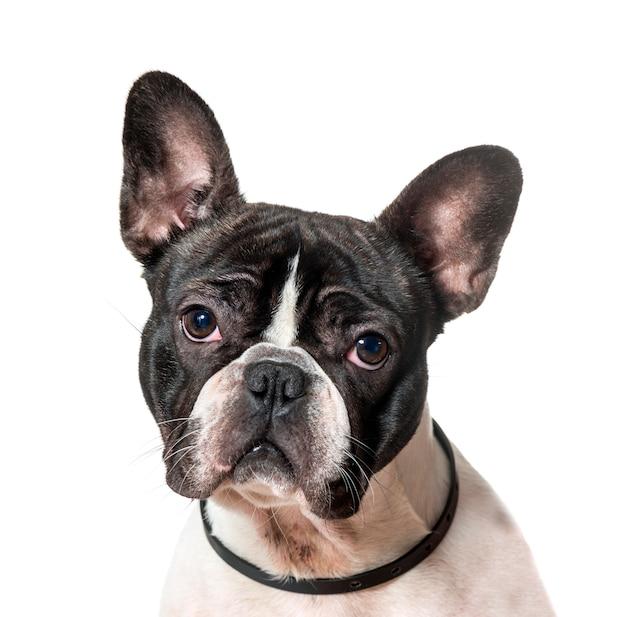 Nahaufnahme des französischen bulldoggenhundes