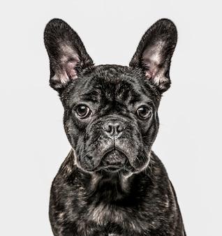 Nahaufnahme des französischen bulldoggenwelpen