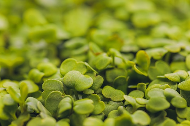 Nahaufnahme des gekeimten rucola-gesunden lebensstils-lebensmittel-mikrogrüns