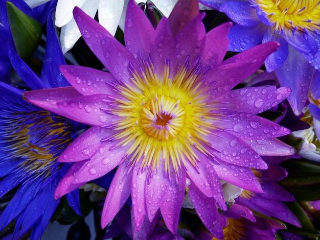 Nahaufnahme des gelben pollens der lila lotusblume und des wassertropfens auf den blütenblättern im pool.