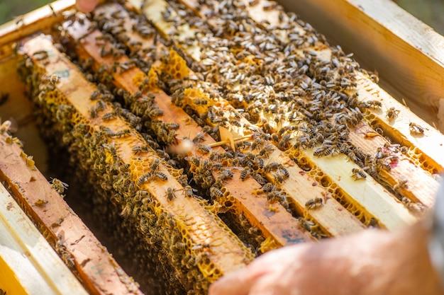 Nahaufnahme des geöffneten bienenstockkörpers, der rahmen zeigt, die von honigbienen bevölkert werden
