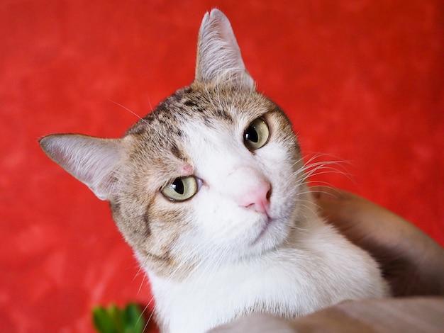 Nahaufnahme des gesichtes der getigerten katze, kümmern sich um gesundheit von haustieren mit krankem katzenkonzept.
