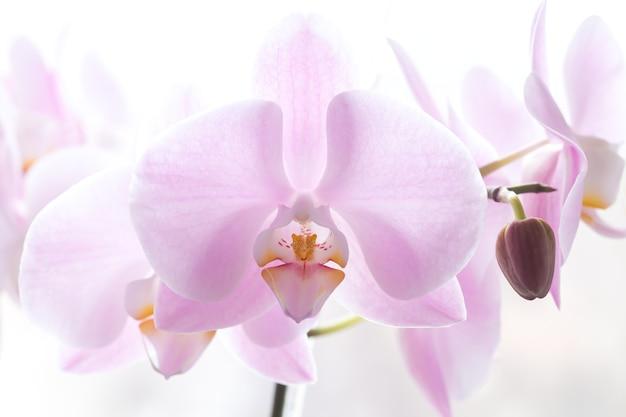 Nahaufnahme des großen hellrosa orchideenblumenzweigs