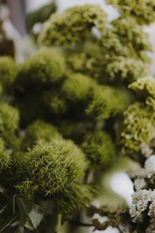 Nahaufnahme des grünen balldianthus