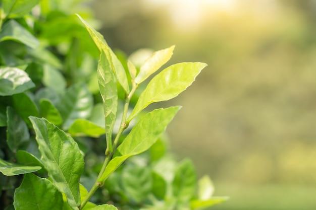 Nahaufnahme des grünen blattes auf unscharfem hintergrund im garten