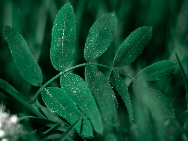 Nahaufnahme des grünen blattes der eberesche mit tropfen des taus