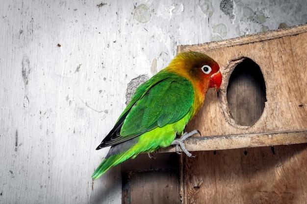 Nahaufnahme des grünen liebesvogels