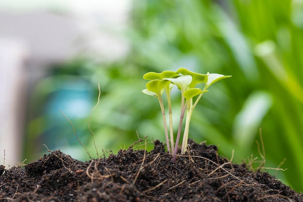 Nahaufnahme des grünkohlsprosswachstums auf dem boden.
