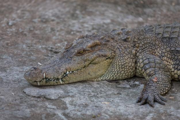 Nahaufnahme des hauptkrokodils, alligator im park