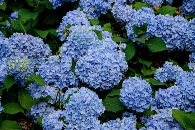Nahaufnahme des herrlichen busches der hortensieblumen