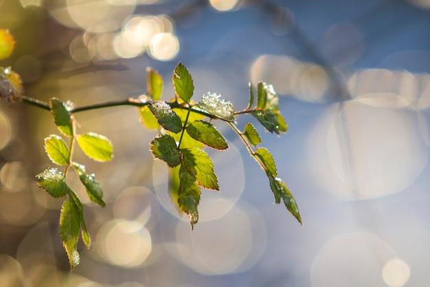 Nahaufnahme des isolierten rosenbrunchs mit zarten nassen grünen blättern, die von der sonne auf hellem sonnigem abstraktem blauweißem bokeh-kopierraumhintergrund beleuchtet werden. postkartengrußthema, schönheit des naturkonzepts.