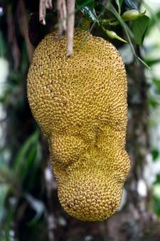 Nahaufnahme des jackfruchtbaums mit reifen früchten