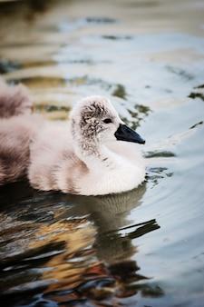 Nahaufnahme des jungen schwans