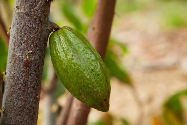 Nahaufnahme des kakaobaums mit früchten grün kakaoschoten wachsen auf dem baumkopierraum für text