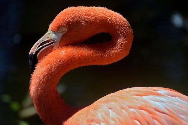Nahaufnahme des karibischen flamingos auf dem see