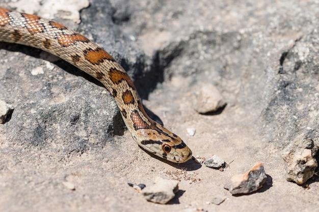 Nahaufnahme des kopfes einer erwachsenen leopard snake oder european ratsnake, zamenis situla, in malta Kostenlose Fotos
