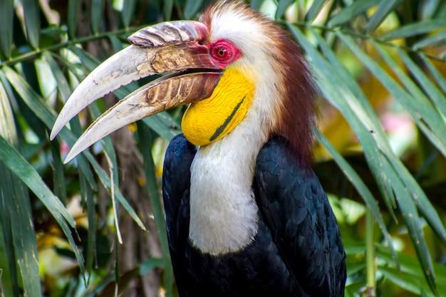 Nahaufnahme des kranzhornvogels (aceros undulatus)