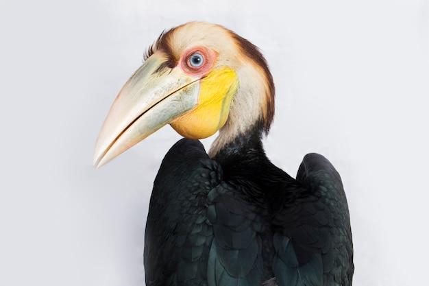 Nahaufnahme des kranzhornvogelvogels (aceros undulatus) auf weißem hintergrund
