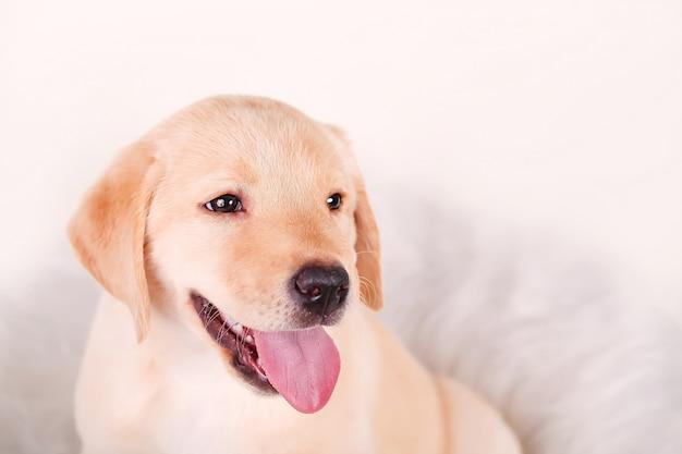 Nahaufnahme des labrador-apportierhundwelpen getrennt