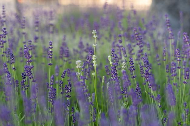 Nahaufnahme des lavendelfeldes zweige des blühenden lavendels können als hintergrund verwendet werden