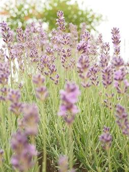 Nahaufnahme des lavendelpflanzenfeldes