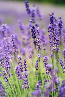 Nahaufnahme des lavendels, purpurrotes tonsonnenlicht.
