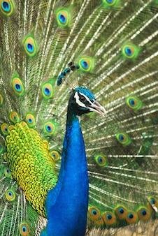 Nahaufnahme des männlichen indischen pfaus, der schwanzfedern anzeigt