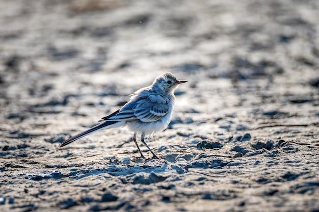 Nahaufnahme des motacilla alba-vogels auf dem boden