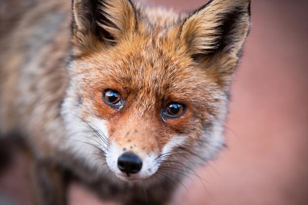 Nahaufnahme des neugierigen roten fuchses, der traurig und direkt in die kamera schaut