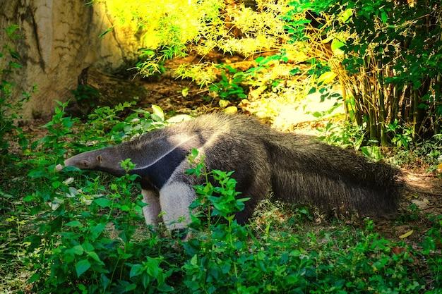 Nahaufnahme des riesigen ameisenbären (myrmecophaga-tridactyla) gehend auf gras