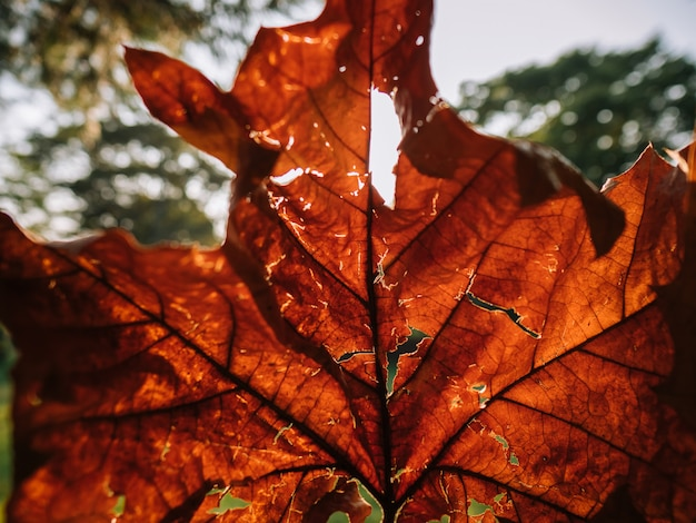 Nahaufnahme des roten fallblattes