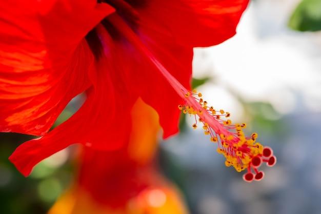 Nahaufnahme des roten pollen hibiscus rosa sinensis texturhintergrund Premium Fotos