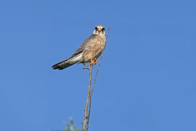 Nahaufnahme des rotfußfalken (falco vespertinus) weibchen, das auf einem baum vor einem strahlend blauen himmel sitzt