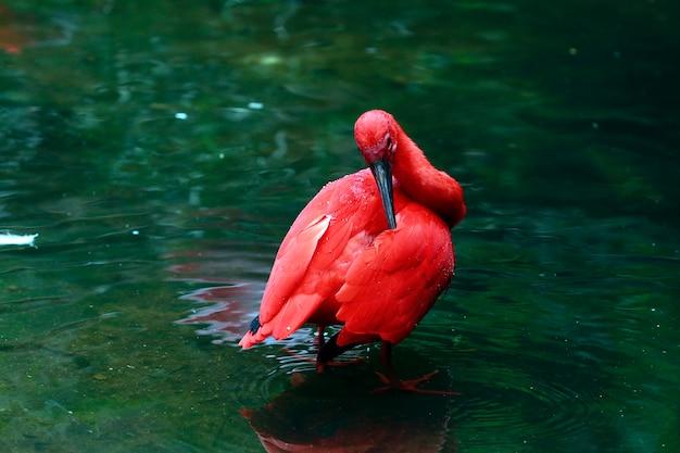 Nahaufnahme des scharlachrots ibis badend im dunkelgrünen see