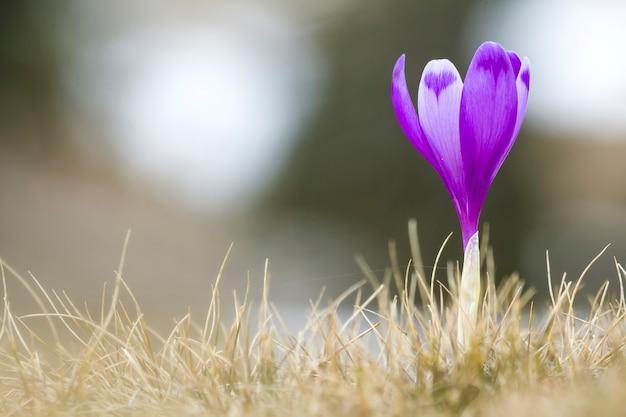 Nahaufnahme des schön blühenden hellen violetten krokus, der stolz allein im trockenen gras steht und trifft morgensonne in den karpatenbergen. schutz der natur und schönheit des lebenskonzeptes.