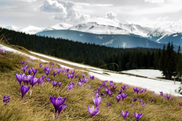 Nahaufnahme des schönen ersten frühlinges blüht, die violetten krokusse, die in den karpatenbergen am hellen frühlingsmorgen auf unscharfem sonnigem goldenem hintergrund blühen. naturschutzkonzept.