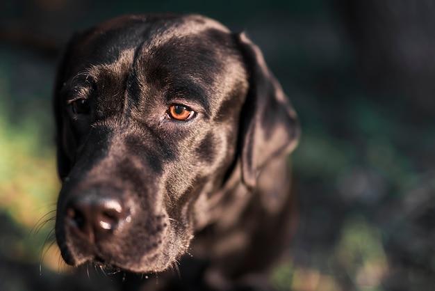 Nahaufnahme des schwarzen labrador-apportierhunds