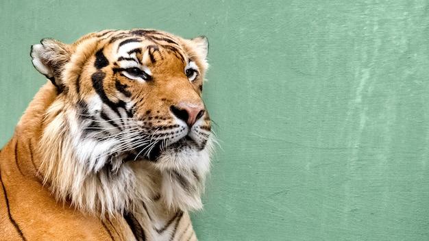Nahaufnahme des sibirischen tigergesichtes