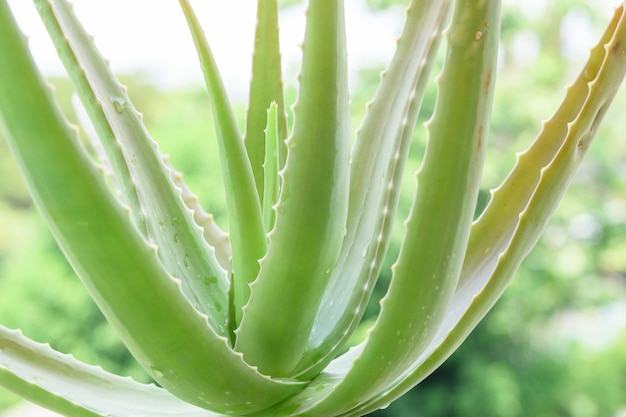 Nahaufnahme des stammes der aloe vera, aloe vera ist eine pflanze mit vielen vorteilen.