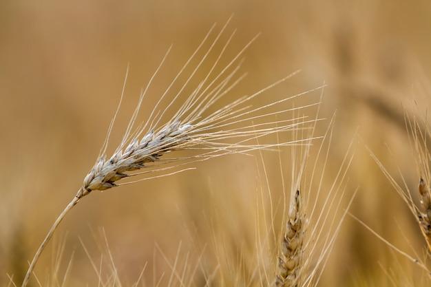 Nahaufnahme des warmen farbigen goldgelben reifen fokussierten weizenkopfes am sonnigen sommertag auf weichem verschwommenem nebligen wiesenweizenfeld. landwirtschaft, landwirtschaft und reiches erntekonzept.