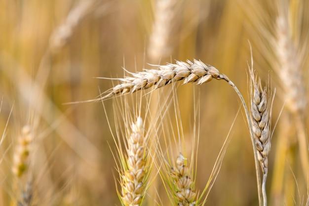 Nahaufnahme des warmen farbigen goldgelben reifen fokussierten weizenkopfes an sonnigem sommertag auf weichem verschwommenem nebligen wiesenweizenfeld hellbraunem hintergrund. landwirtschaft, landwirtschaft und reiches erntekonzept.