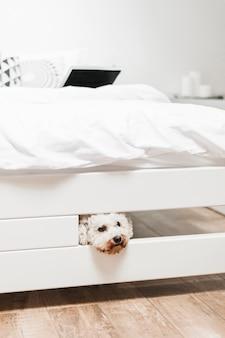 Nahaufnahme des weißen Spielzeugpudels, der unter das Bett späht