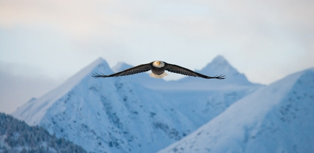 Nahaufnahme des weißkopfseeadlers an einem wintertag