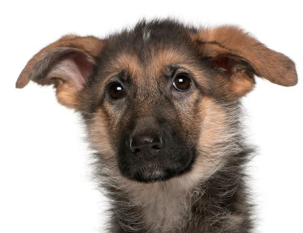 Nahaufnahme des welpen des deutschen schäferhundes, 4 monate alt
