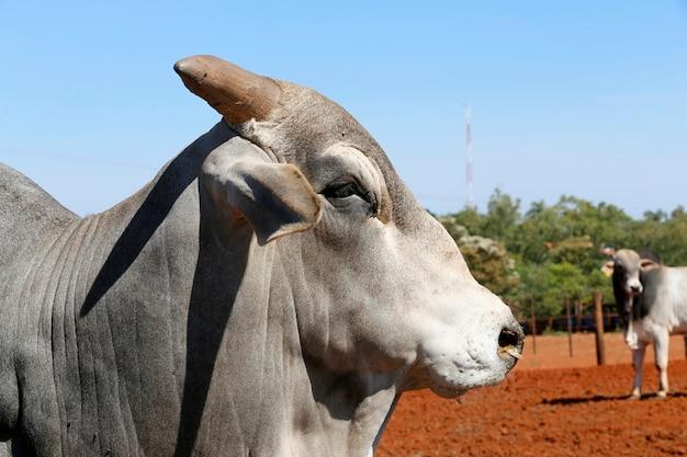 Nahaufnahme des zebu-stiers der nelore-rasse