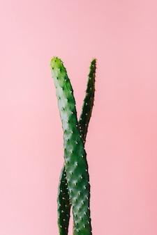 Nahaufnahme detail des flachen und langen grünen kaktus auf einem rosa hintergrund. minimale dekorationspflanze auf farbhintergrund mit kopienraum.
