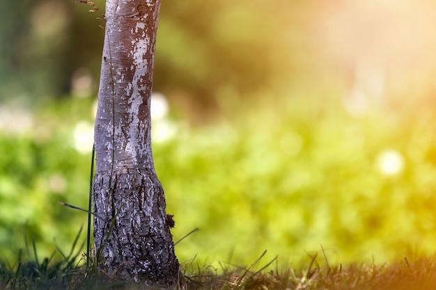 Nahaufnahme detail des isolierten beleuchteten durch sommersonne, die allein starken schwarzen und weißen baumstamm auf hellem grasgrünem verschwommenem sonnigem bokeh wächst. schönheit der natur, vintage-effekt-konzept.